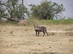 Photo: Warthog...