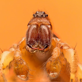 Spider Big Daddy 2 by AhMet özKan - Animals Insects & Spiders ( canon, wild, invertebrate, macro, spider, stack, teeth )