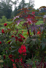 Photo: Carmencita castor bean was new this year, what a beauty!