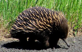 Photo: Year2 Day 143 - Echidna (or Spiny Ant-eater)