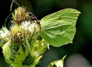 Photo: Zitronenfalter-Weibchen im Sablatnigmoor.