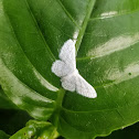 Gray-spotted white moth