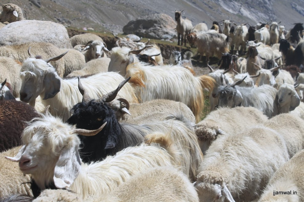 A big goat and sheep herd