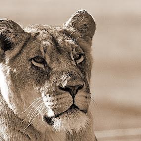 Lion by Johann Fouche - Animals Lions, Tigers & Big Cats ( big 5, lioness, carnivore, big cat, lion,  )