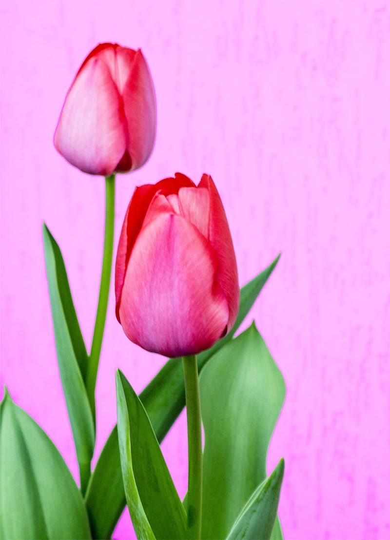 Tulipani di alidabrivio