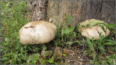 Photo: Ciuperci din Turda, Parcul Central - 2019.05.16