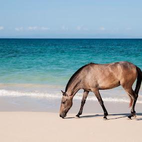 Beach Horse by Victor Roman - Animals Horses ( pony, horse, sea, beach, animal,  )