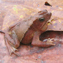 Crested Toad