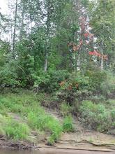 Photo: Уже краснеют осины, незаметно подходит осень