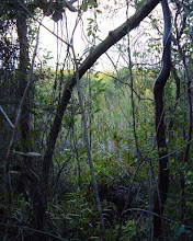 Photo: end of the swamp trail,  Endangered Bitter Plum tree - Picrodendron baccatum EUPHORBIACEAE on left. Cayman Islands, Bahamas, Cuba, Hispaniola, Jamaica and the Swan Islands.