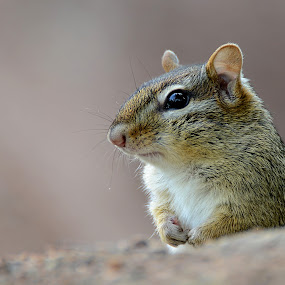 Chipmunk by Andrea Silies - Animals Other Mammals ( chipmunk, rodent, animal,  )