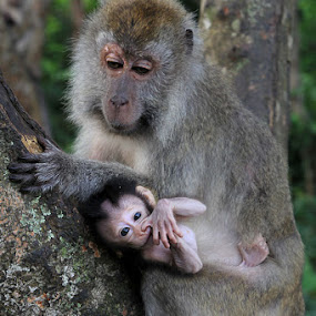 mother love by Gedion Kristianto - Animals Other ( photo, monkey, mother love )