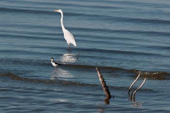 Photo: Great egret and black-necked stilt