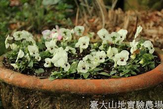 Photo: 拍攝地點: 梅峰-溫帶花卉區 拍攝植物: 香堇(白黑斑) 拍攝日期:2013_01_07_FY