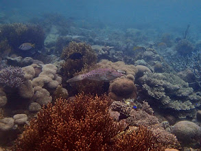 Photo: Aluterus scriptus (Scrawled Filefish), Lusong Island, Coral Garden Reef, Palawan, Philippines.