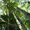 Moreton Bay Chestnut (coppice)
