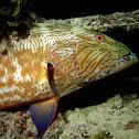 Highfin Coral Grouper