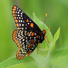 Baltimore Checkerspot Butterfly