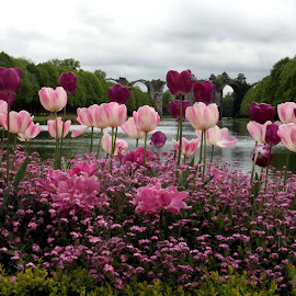 French tulips by Michael Moore - Flowers Flower Gardens (  )
