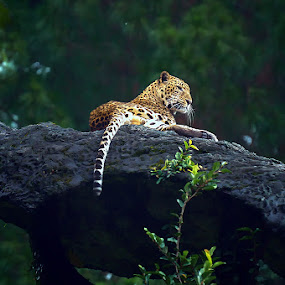 Alone Leopard by Alim Sumarno - Animals Lions, Tigers & Big Cats ( big cat, tiger, leopard )