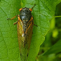 Pharaoh cicada
