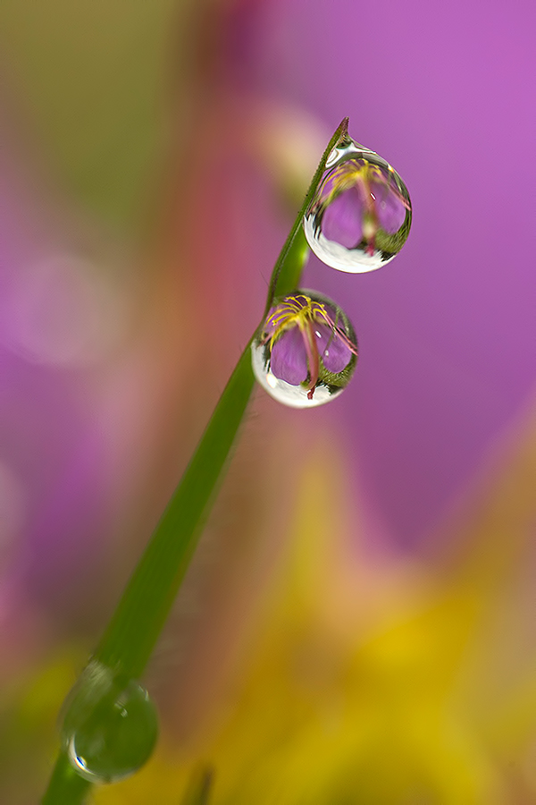Purple... by Citra Hernadi - Nature Up Close Natural Waterdrops