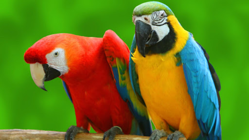 Parrot Bird Live Wallpaper