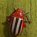 Passionflower Flea Beetle