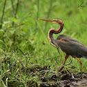 Heron - Purple Heron