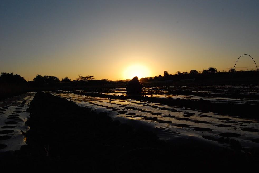 夕暮れの中玉ねぎの定植
