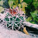 Coroa-de-frade