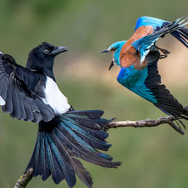 Fight.. by Stanley P. - Animals Birds