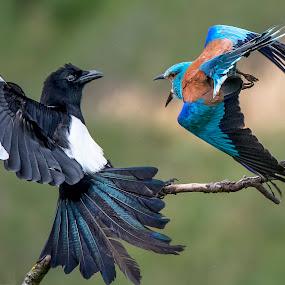 Fight.. by Stanley P. - Animals Birds (  )