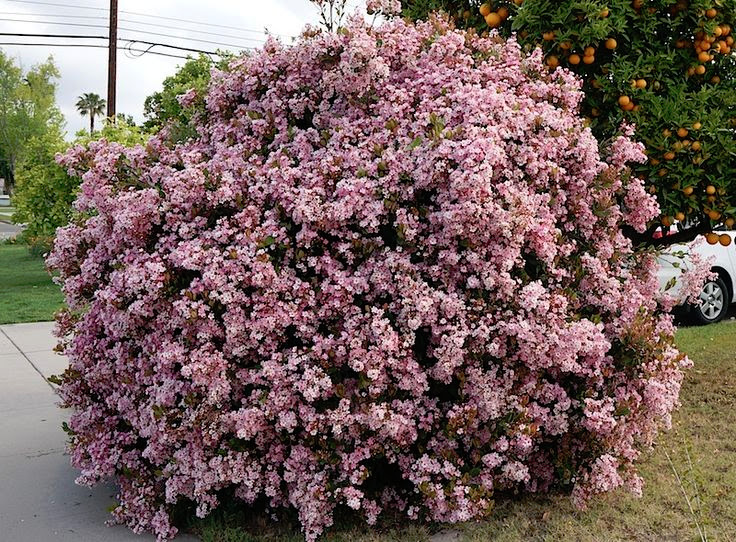 Indian Hawthorne Bush