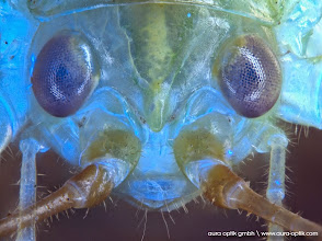 Photo: Grashopper under fluorescent blue and green light, stacked picture