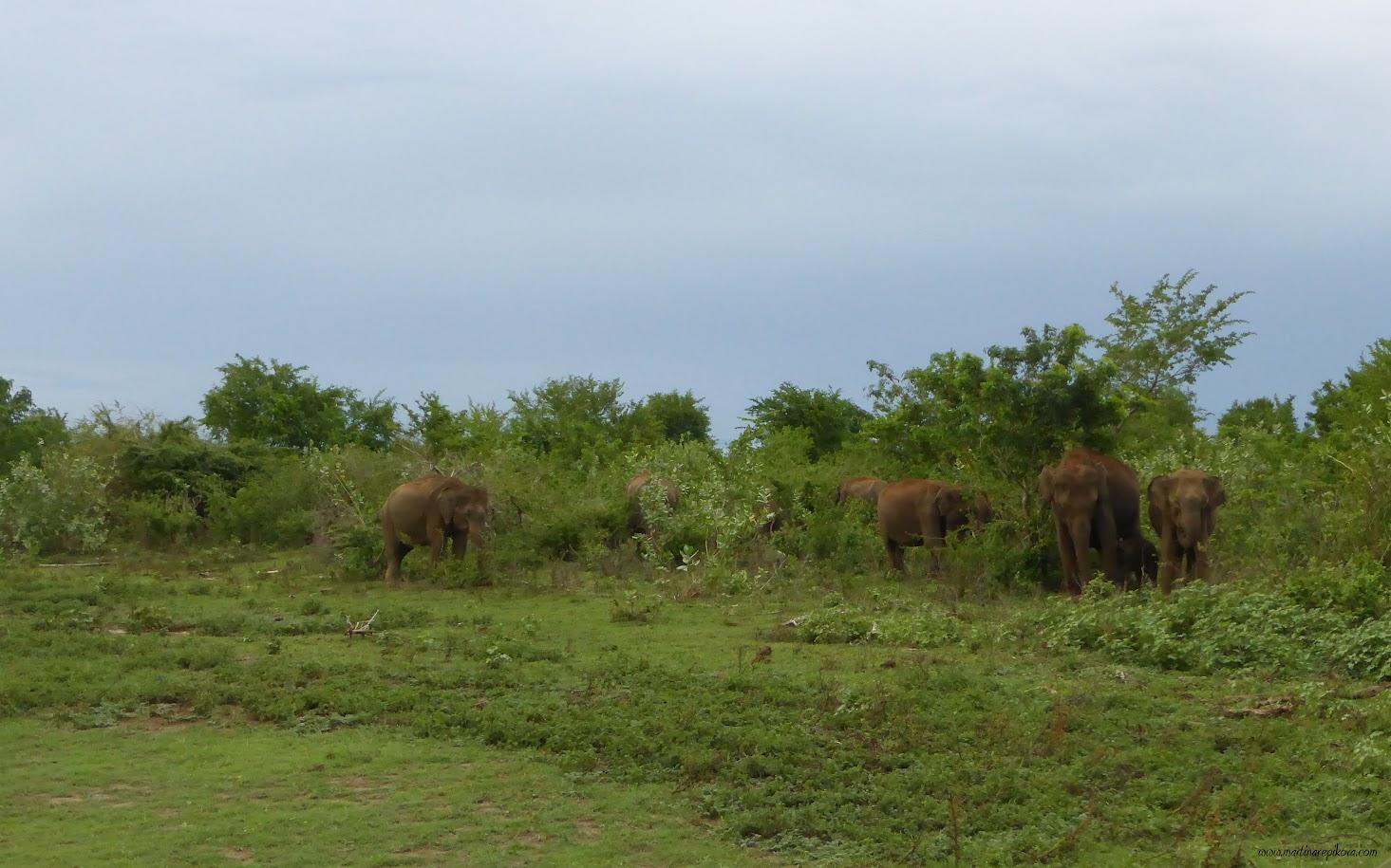 Slon, Uda Walawe, Sri Lanka