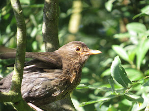 Photo: 12 Aug 13 Priorslee Lake: A juvenile Blackbird lifts a wing about to fly away. (Ed Wilson)