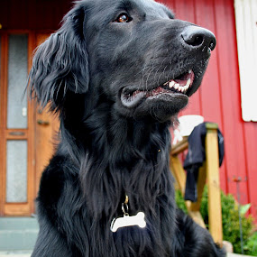by Camilla Nilhammer - Animals - Dogs Portraits ( #GARYFONGPETS, #SHOWUSYOURPETS )