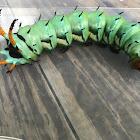 Hickory Horned Devil Caterpillar