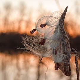 Bird shaped milkweed  by Susan Campbell - Nature Up Close Other plants