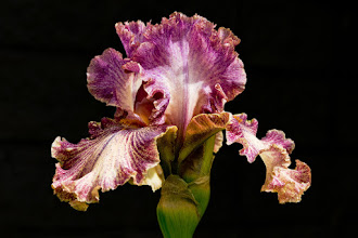 Photo: Original photo - ruffled violet iris