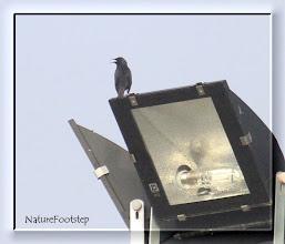 Photo: Svartstare - sturnus unicolor - Spotless starling - Étourneau unicolore NF Photo 121111, Chichaoua http://nfmoroccobirds.blogspot.se/2013/01/svartstare-sturnus-unicolor-spotless.html