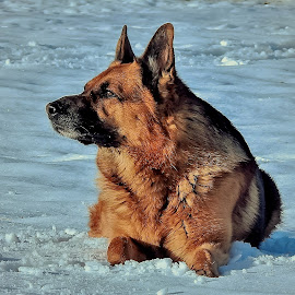 At the end of the day by Sue Delia - Animals - Dogs Portraits ( winter, german shepherd, dog,  )