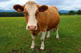 cow   Description & Facts   Britannica