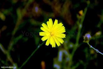 Photo: ARFAJ  ( Rhanterium epapposum ) National Flower of Kuwait