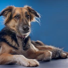 Zed by Phil Anderson - Animals - Dogs Portraits ( medium format, fujifilm, gfx, dog, profoto )
