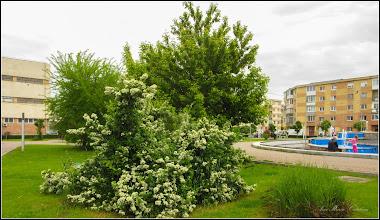 Photo: Pyracantha, Cătină ornamentală (Pyracantha coccinea)  - Din Turda, parcul teilor - 2019.05.15