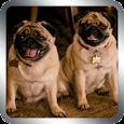 Cute Pugs Live Wallpaper apk