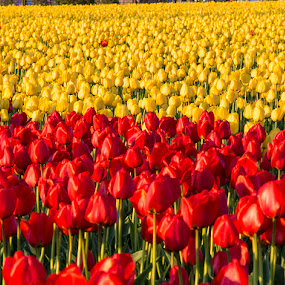 Red and Yellow all over by Dana Styber - Nature Up Close Flowers - 2011-2013 ( up close, yellow tulips, nature, colorful, skagit valley wa, red tulips, tulips, flowers )