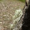Fish Bone Beard Lichen